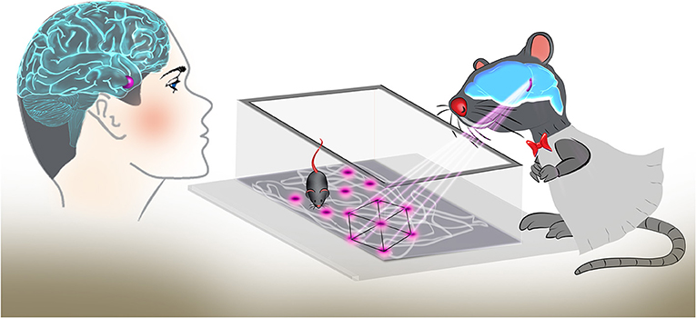 Figure 3 - Grid cells in the entorhinal cortex are activated at multiple locations, forming a symmetrical coordinate system in the brain.