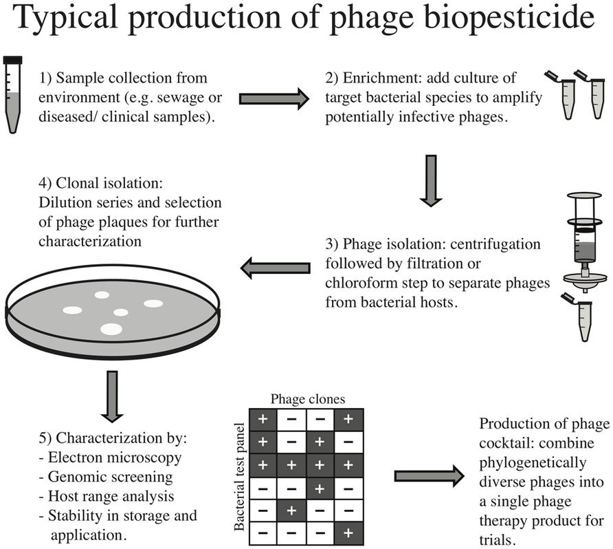 phage lab Bacteriophage contamination: is there a simple method to reduce its deleterious effects in laboratory cultures phage genetic material.