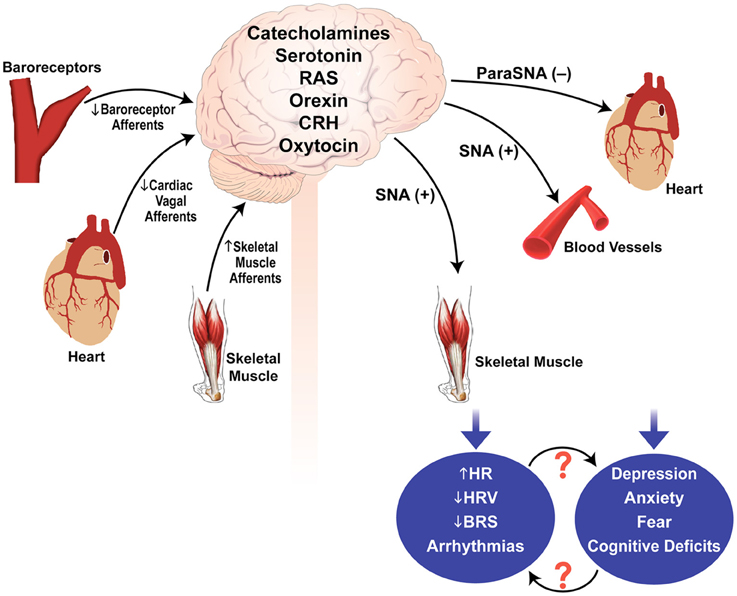 frontiers | the link between stress disorders and autonomic, Skeleton