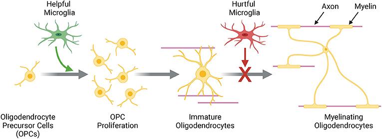 Figure 3 - Baby oligodendrocytes, called oligodendrocyte precursor cells (OPCs), become mature, myelinating oligodendrocytes.