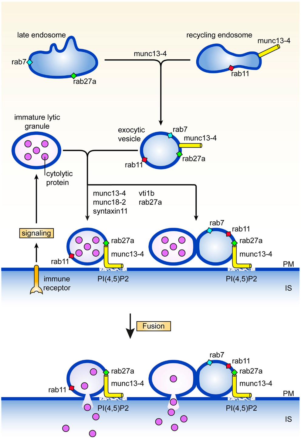 Frontiers Late Steps In Secretory Lysosome Exocytosis In