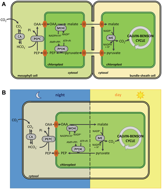 Frontiers | Redox regulation of the Calvin–Benson cycle: something ...