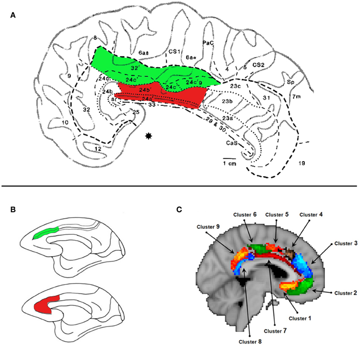Frontiers | The role of the midcingulate cortex in monitoring others ...