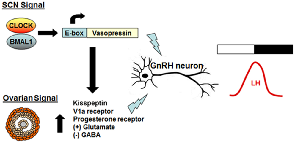 Kisspeptin Gnrh Neurons: Central Circadian Control Of Female