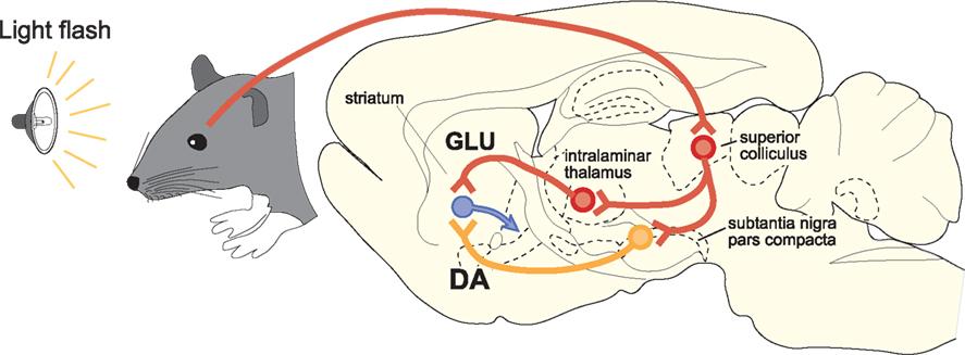 Frontiers | Interactions between the Midbrain Superior Colliculus ...