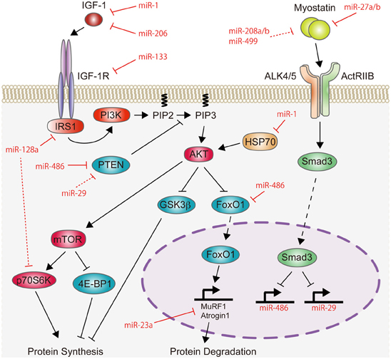 Frontiers | Role of microRNAs in skeletal muscle ...