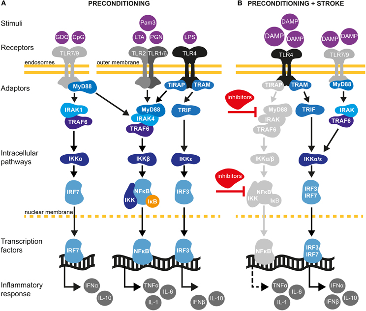 Immune Mechanisms In Cerebral Ischemic