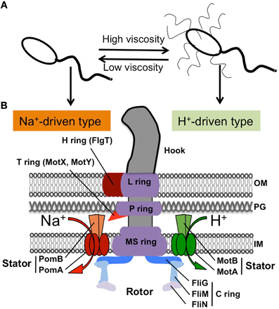 frontiers | structure, gene regulation and environmental ...  vibrio diagram
