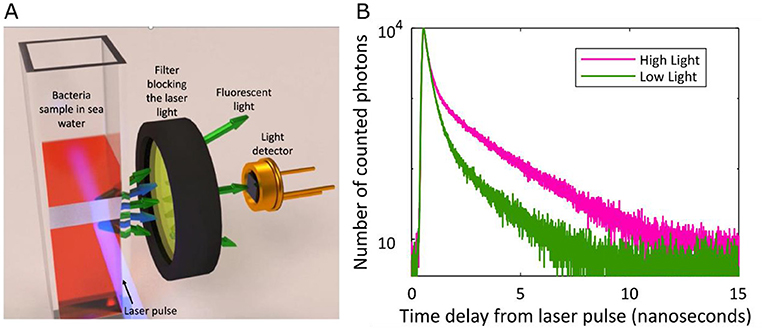 Figure 2 - (A) To study how efficiently the cyanobacteria's antennas were working, we illuminated the bacteria with energetic light from a laser, and measured how long it took for the bacteria to emit a pulse of lower energy light from the pigments in their antennas.