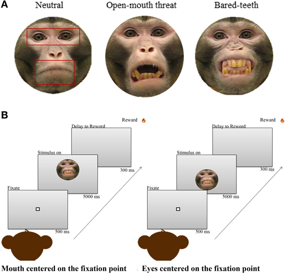 Frontiers | Oxytocin enhances attention to the eye region in rhesus
