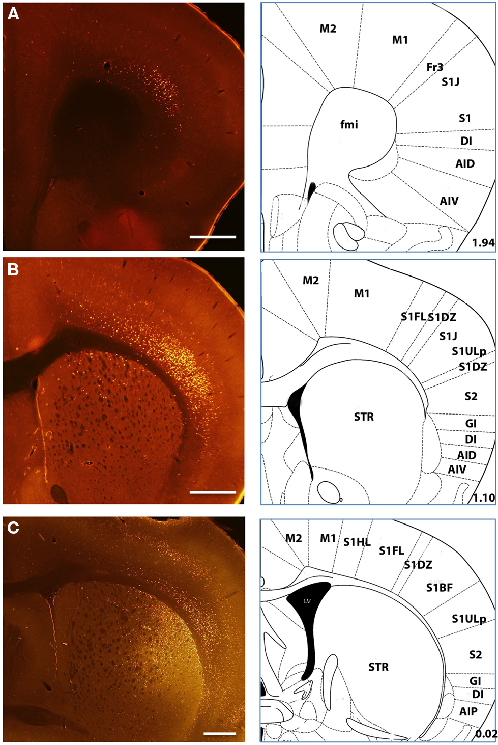 Frontiers Inputs To The Dorsal Striatum Of Mouse Reflect Parallel Circuit Examples Circuits