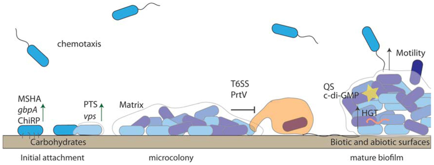 motility and chemotaxis Motility and chemotaxis mediate the preferential colonization of the preferential colonization of gastric injury motility and chemotaxis have.