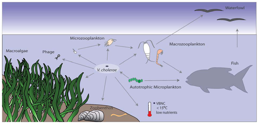 cholera transmission cycle - photo #23