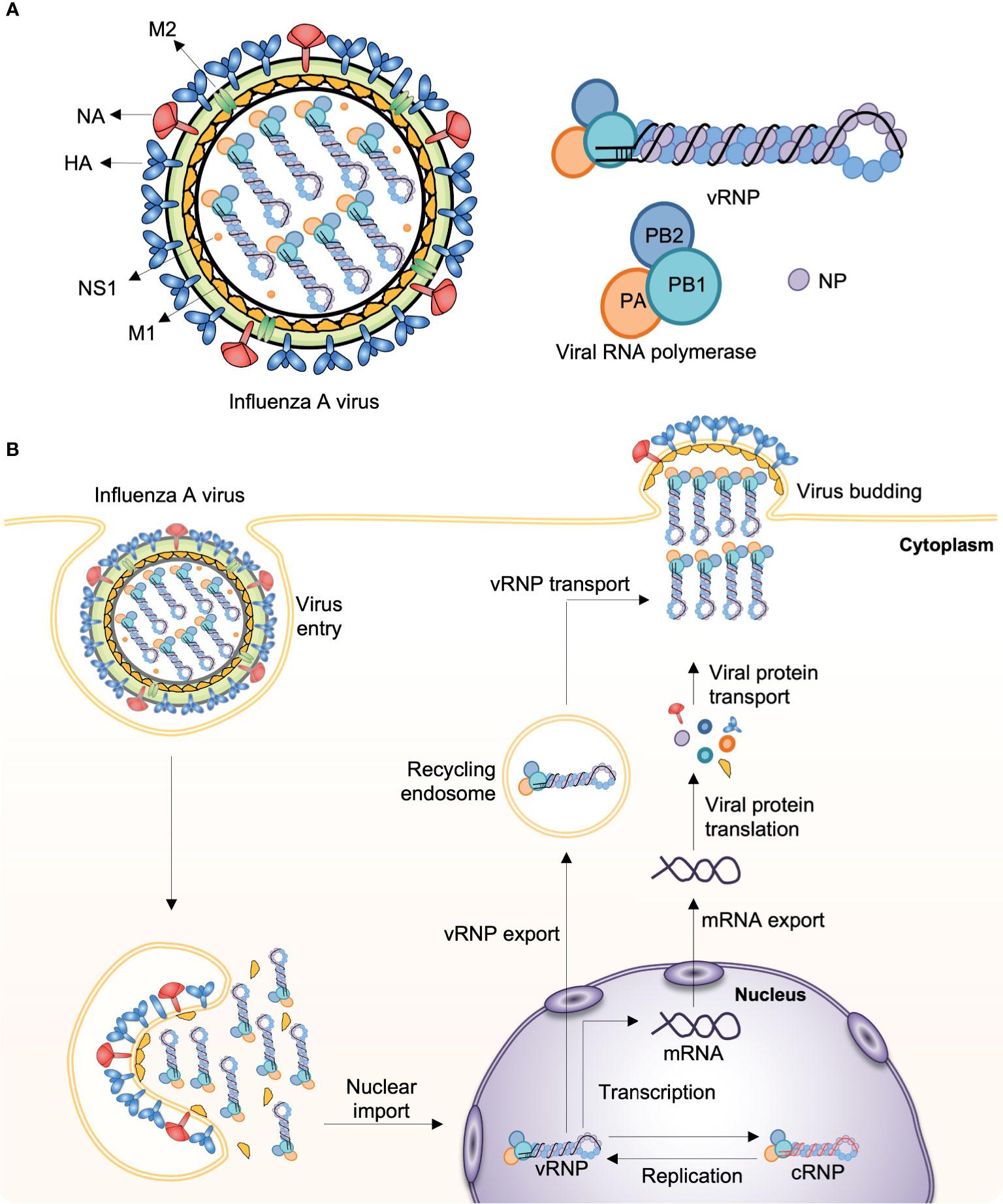 Frontiers   Influenza Viruses: Innate Immunity and mRNA Vaccines