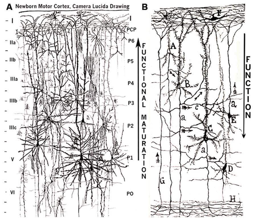 The Mammalian Neocortex New Pyramidal Neuron