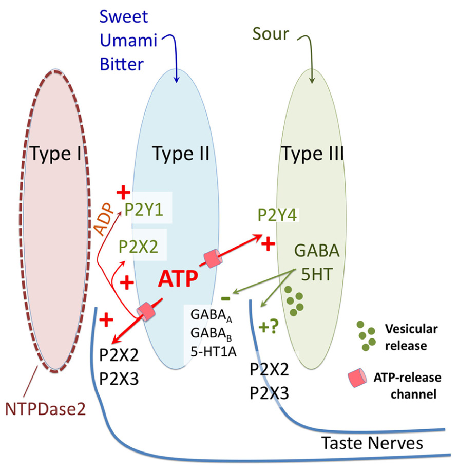 Frontiers a taste for atp neurotransmission in taste buds frontiersin pooptronica