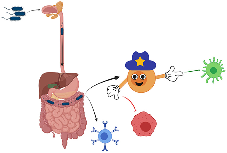 Figure 2 - One type of bacteria is introduced to the immune system through the mouth of mice.