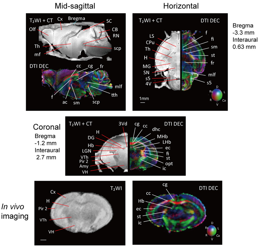 Frontiers Multidimensional Mri Ct Atlas Of The Naked Mole Rat