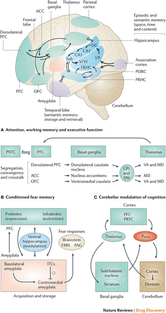 Frontiers Cognitive Motor Interactions Of The Basal