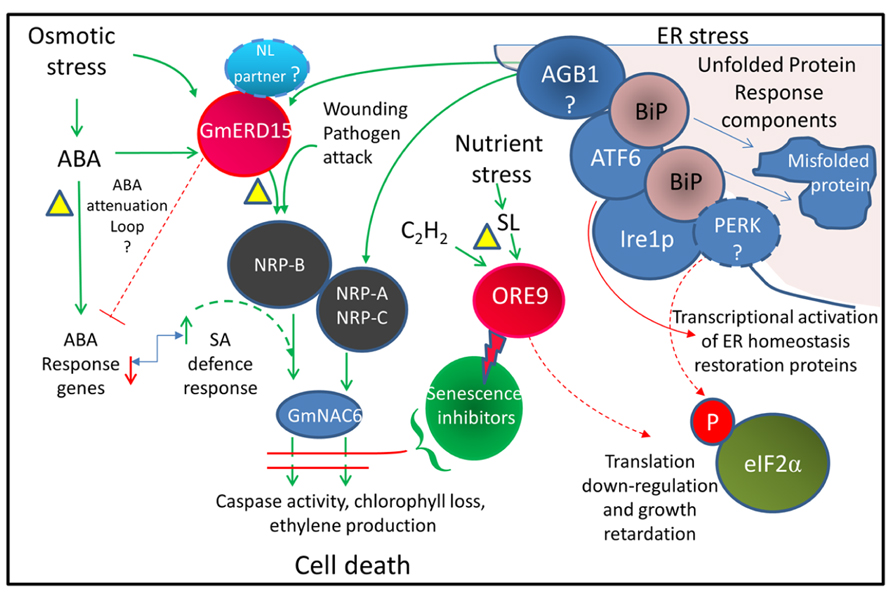 Frontiers | Drying without senescence in resurrection ...
