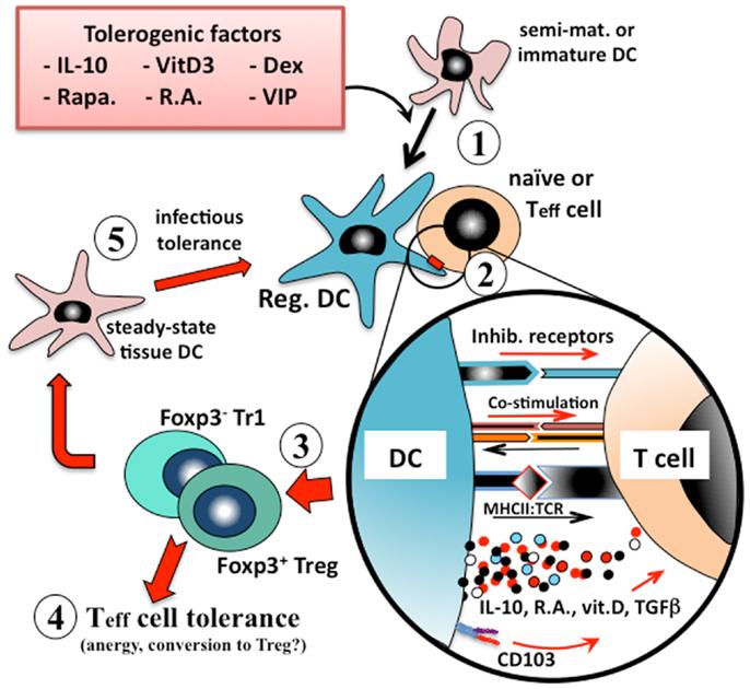 immature dendritic cells - photo #14