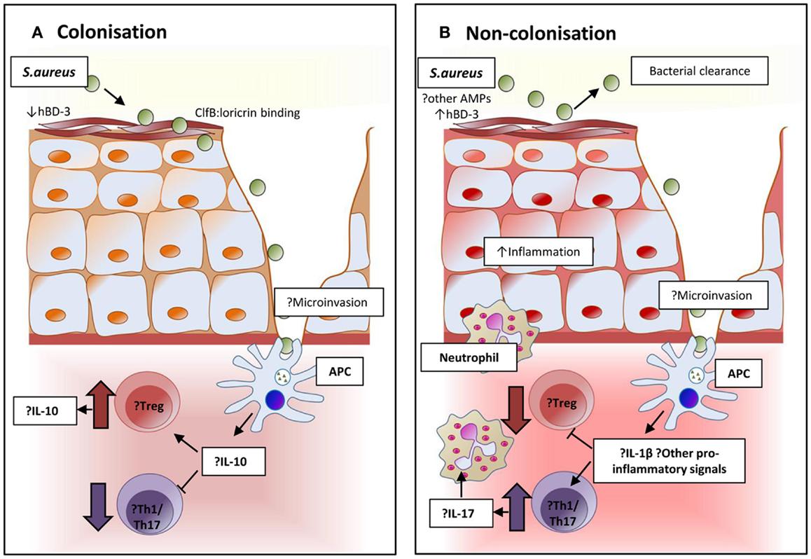 Frontiers Staphylococcus Aureus Colonization Modulation