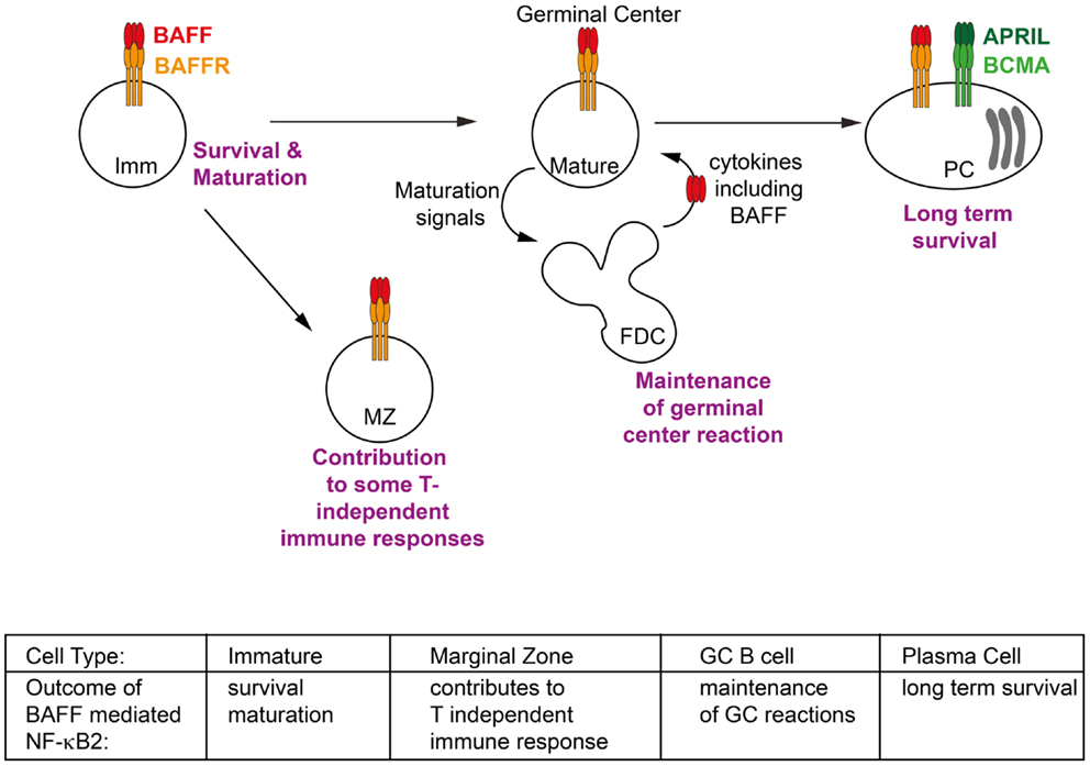 Frontiers Non Canonical Nf Kb Signaling Initiated By Baff