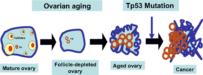 Frontiers Development Of A Mouse Model Of Menopausal Ovarian Cancer Oncology