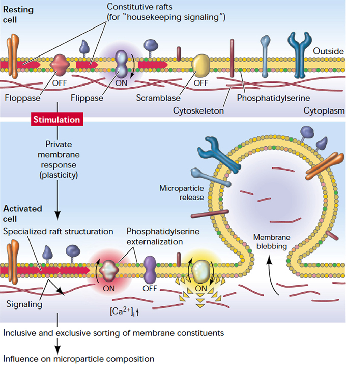 Frontiers Red Blood Cell Vesiculation In Hereditary Hemolytic