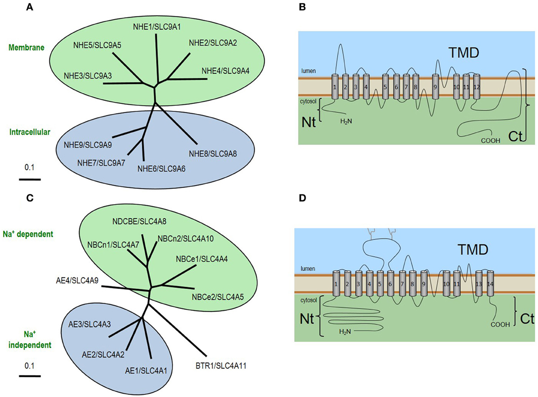 Frontiers Intracellular Ph Regulation By Acid Base Transporters In