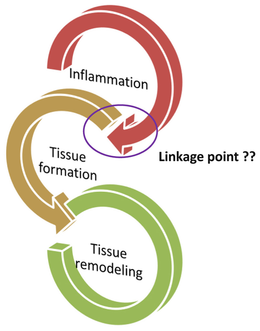 Frontiers | Apoptotic cell: linkage of inflammation and wound