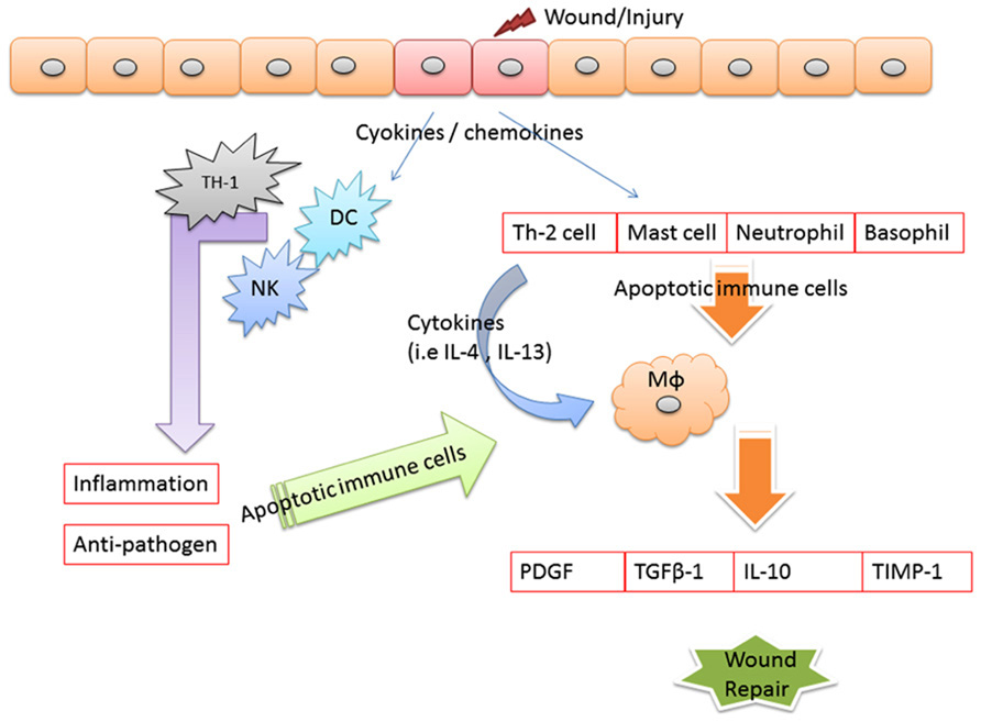 Frontiers | Apoptotic cell: linkage of inflammation and