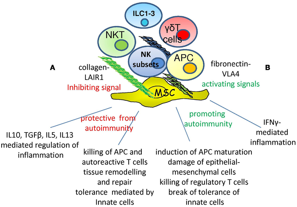 Frontiers Nk Cell Autoreactivity And Autoimmune Diseases