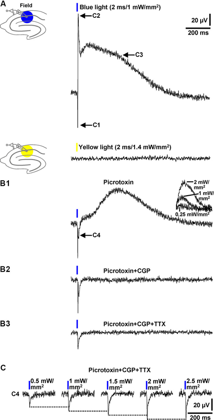 Frontiers | Optogenetic evocation of field inhibitory