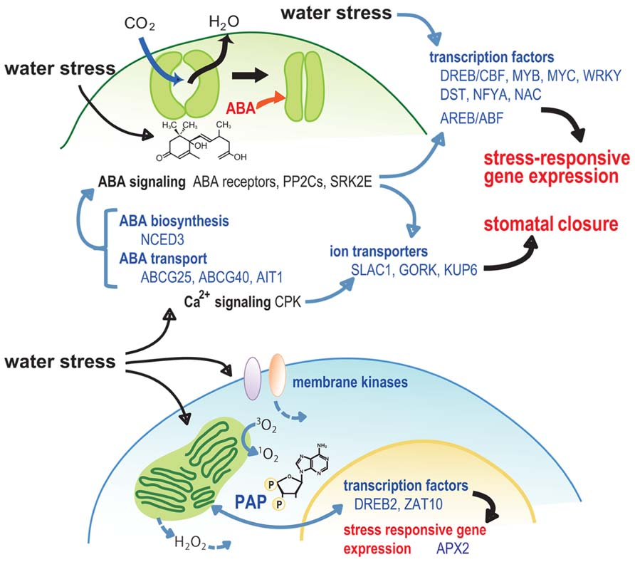 Water Stress in Plants: Causes, Effects and Responses