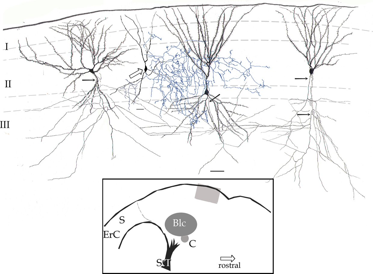 Frontiers chandelier and interfascicular neurons in the adult frontiersin aloadofball Gallery