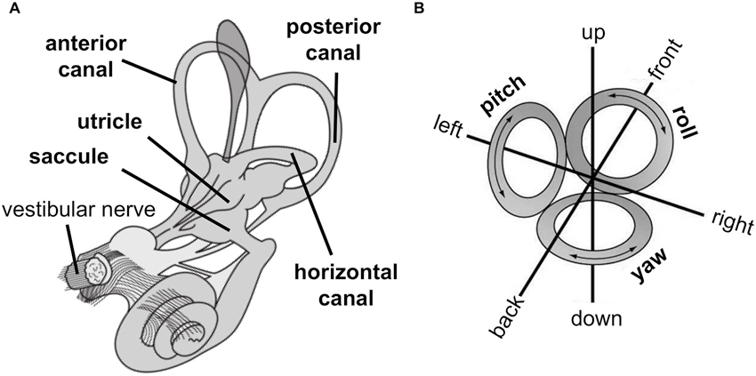 Frontiers | The vestibular system: a spatial reference for bodily ...