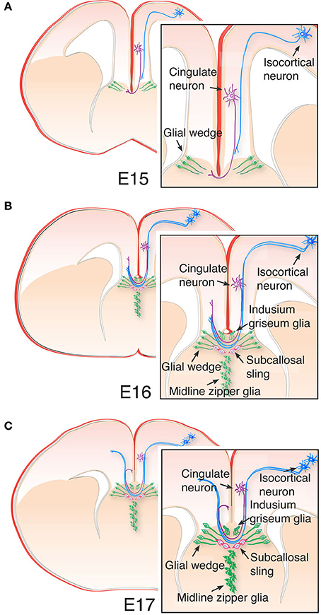 Frontiers | Evolution and development of interhemispheric