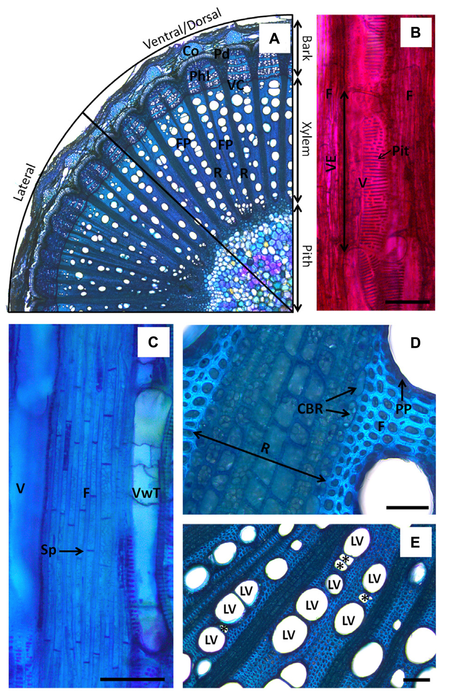 Cartilaginous Fish in addition Chilodonella further DmVudHJhbCBwbGFuZQ together with Mesh info together with Dogfish Shark Dissection. on dorsal and ventral anatomy of plants
