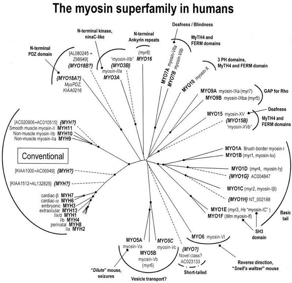 Frontiers to understand muscle you must take it apart physiology frontiersin ccuart Image collections
