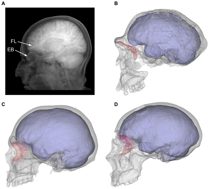 Frontiers | Functional craniology and brain evolution: from ...