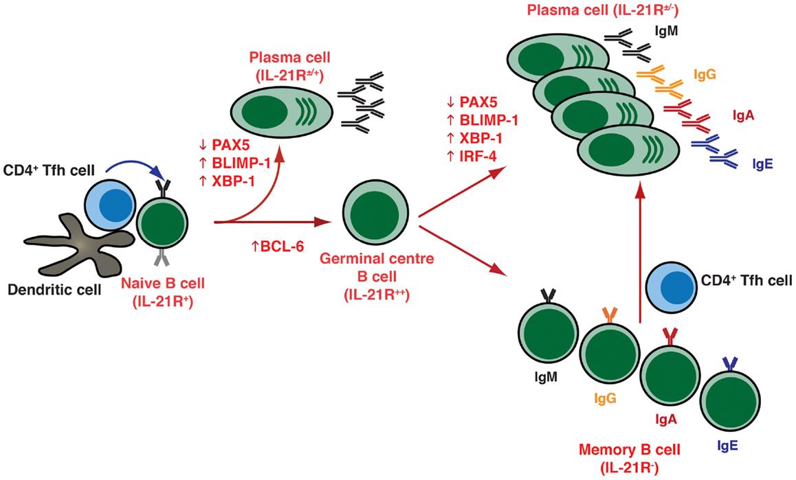 Frontiers cytokine mediated regulation of plasma cell generation frontiersin publicscrutiny Choice Image