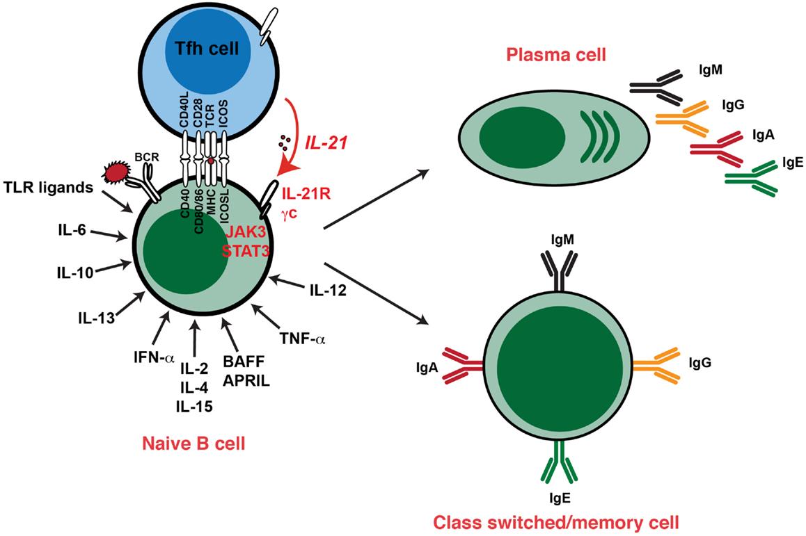 cytokines ontstekingsreactie