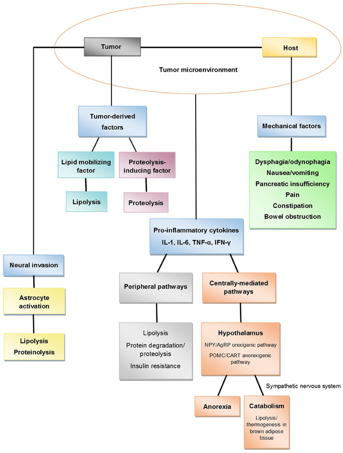 Frontiers Pancreatic Cancer Cachexia A Review Of Mechanisms And