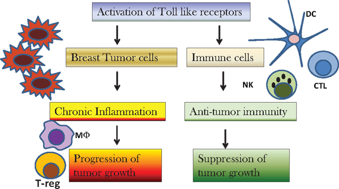 Frontiers Toll Like Receptor Mediated Regulation Of