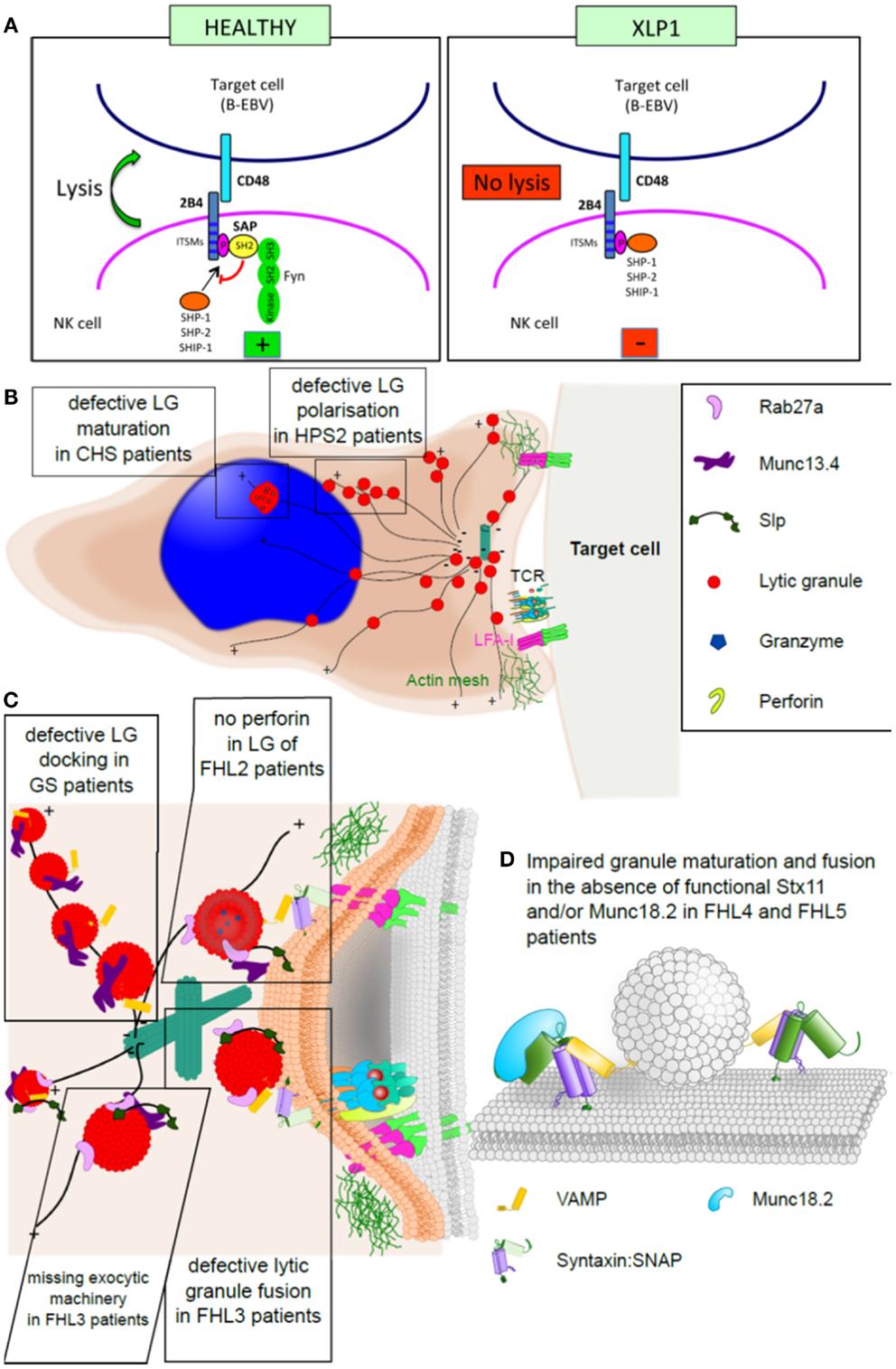 cancer in familial hemophagocytic lymphohistiocytosis paraziți interni la imaginile oamenilor