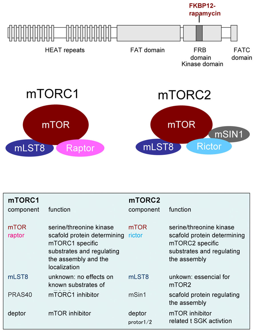 Frontiers | mTOR signaling and its roles in normal and abnormal