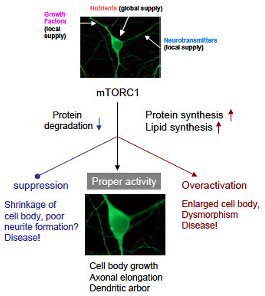 Frontiers | mTOR signaling and its roles in normal and ...
