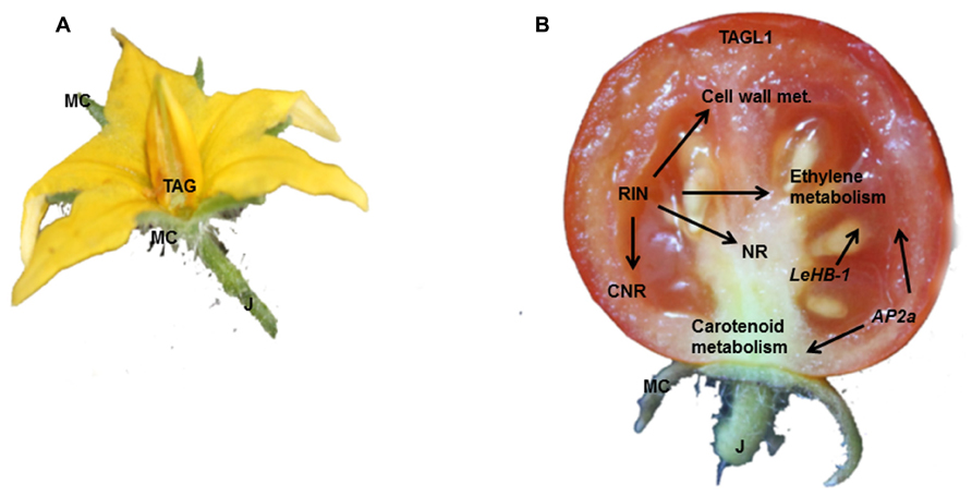 Frontiers Genetic Regulation And Structural Changes During Tomato