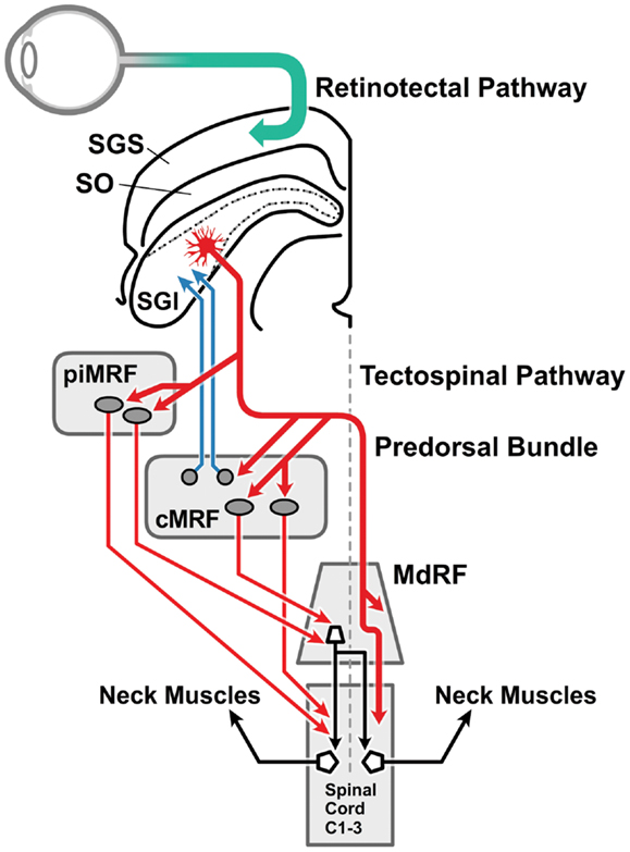Frontiers | Cervical Dystonia: A Disorder of the Midbrain Network ...